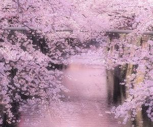 japan, cherry blossom, and spring image