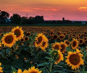 sunflowers, sunset, and yellow image