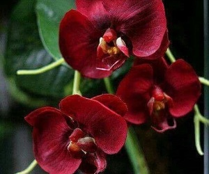 Carmen, flower, and orchid image