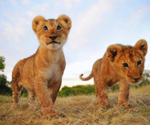lion and lions image