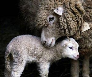 animals, sheep, and baby sheep image