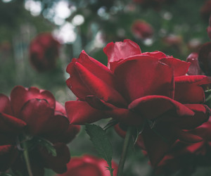 destiny, red rose, and tumblr wallpaper image