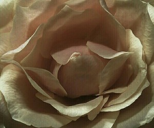 beige, rose flower, and nacre image