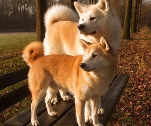 animals, japan, and shiba inu image