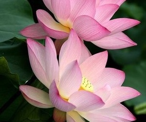 flowers, lotus, and pink image