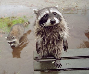 cute, animal, and raccoon image