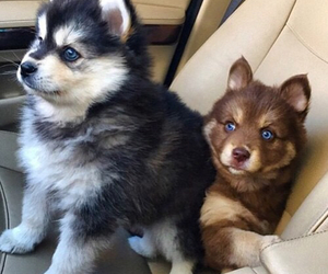 adorable, cute, and huskies image
