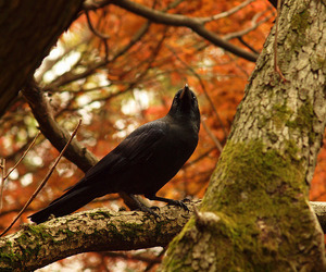 autumn, fall, and crow image