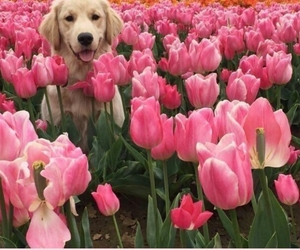 dog, flower, and golden retriever image