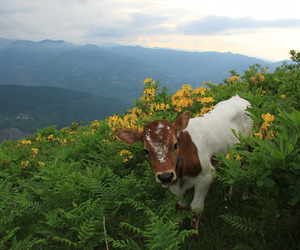 animal, flowers, and cow image