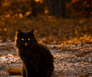 cat, autumn, and black cat image