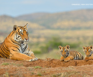 animals, tigers, and baby animals image