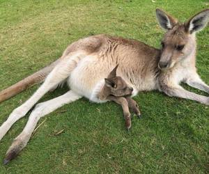 animals, kangaroo, and baby animals image