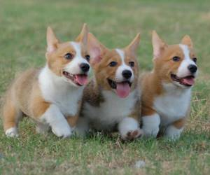 corgi, puppies, and cute image