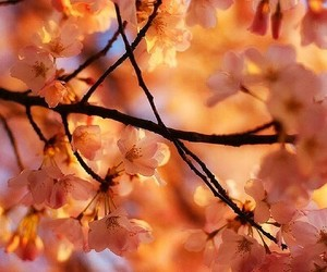 flowers, beautiful, and cherry blossom image