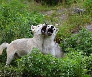 animals, baby animals, and wolf image
