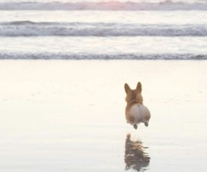 dog, beach, and corgi image