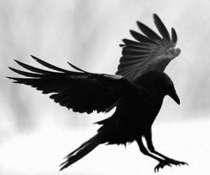raven, crow, and dark image