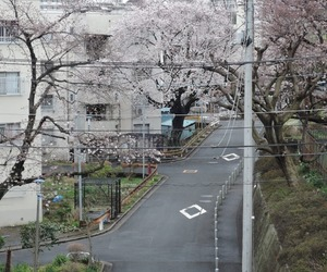 japan, asia, and cherry blossom image