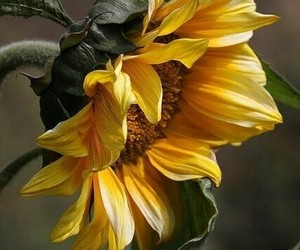 beautiful, sunflower, and yellow image