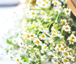 daisys, many, and flowers image