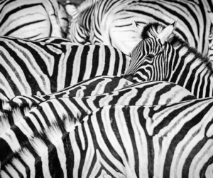 zebra, animal, and black&white image