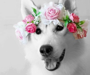dog, husky, and flower headband image