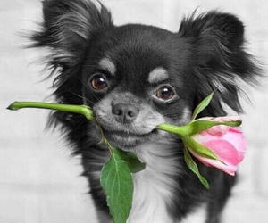 chihuahua, flower, and collar popped image