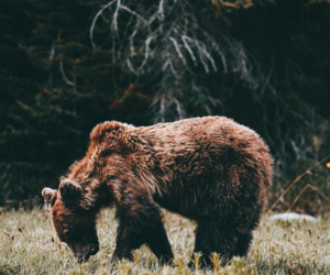 animal, bear, and brown bear image