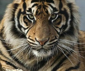 photography, tiger, and @ugotthelook91 image