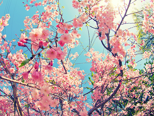 47 Images About Cherry Blossom On We Heart It