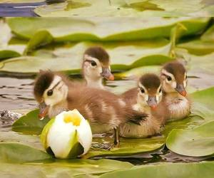 ducks, little, and sweet image