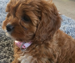 puppy, cute, and cavapoo image