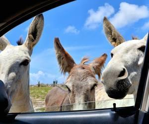 aruba, love, and donkeys image