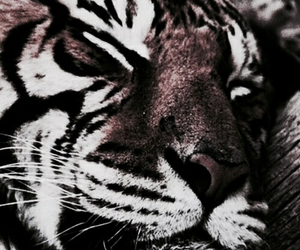 tiger, theme, and animal image
