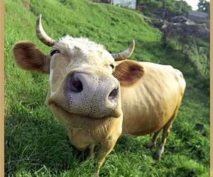 cow, animal, and funny image
