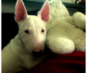 bullterrier and puppy image