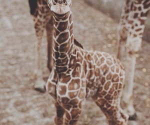 animal, giraffe, and baby image