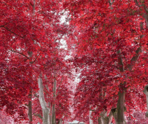 autumn and red tree image
