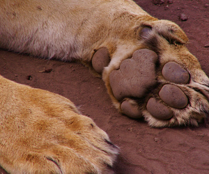 animal, lion, and paws image