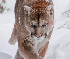 animal, puma, and snow image