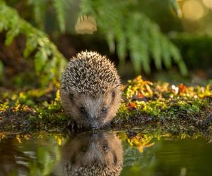 hedgehog, water, and reflection image