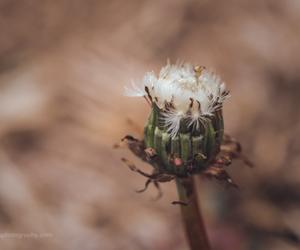 dandelion, North Carolina, and weeds image