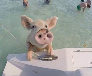 adorable, pig, and sea image
