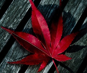 red, leaf, and autumn image