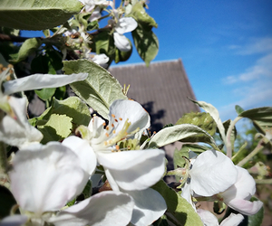 apples, flowers, and sky image