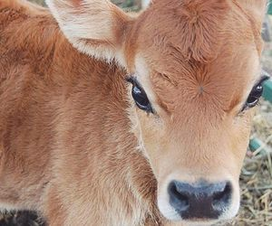 calf, animal, and instagram image
