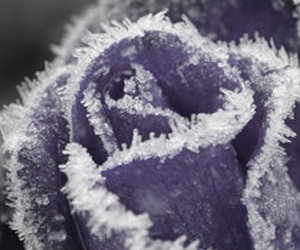 rose, winter, and frost image