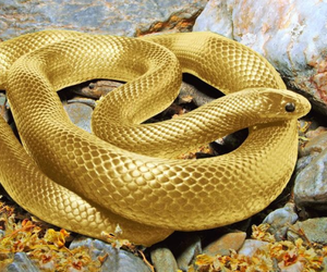 snake, gold, and animal image