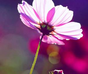 cosmos, flower, and japan image